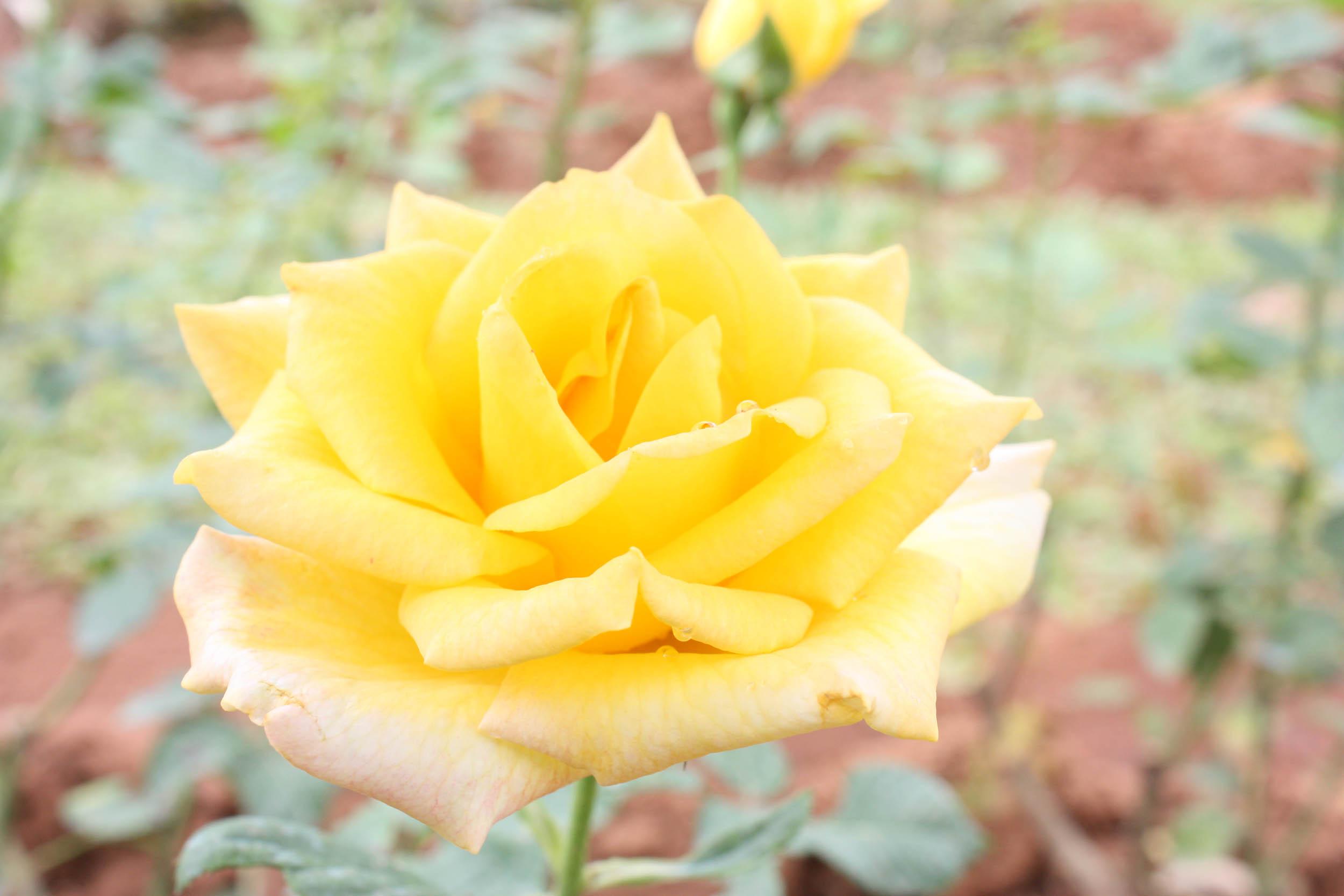 กุหลาบควีนสิริกิติ์ : Rosa Queen Sirikit