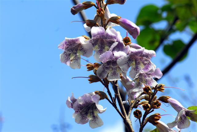 Павлония дерево выращивание 20